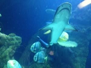 morski pes hausdesmeeres